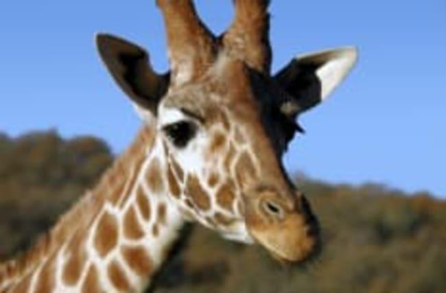 Giraffes facing extinction after devastating decline, experts warn