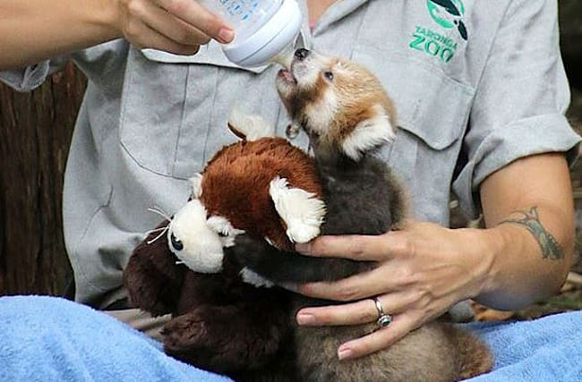 Red panda baby snuggles up to lookalike cuddly toy