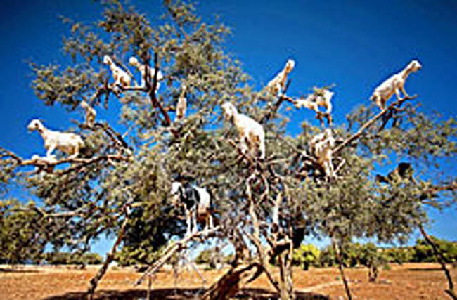 Pic: How many goats can you spot in this tree?