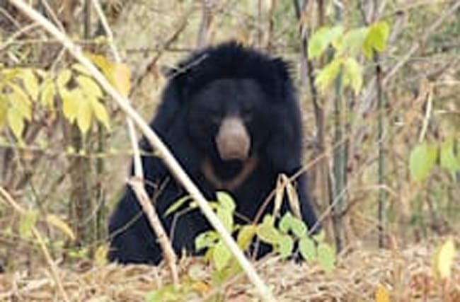 Just like the film! Man survives Revenant-style bear attack in forest