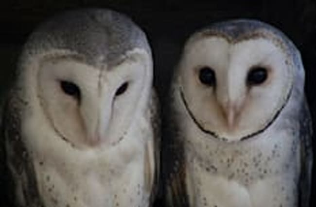 Coastguards rush to cries for help... only to find amorous owls