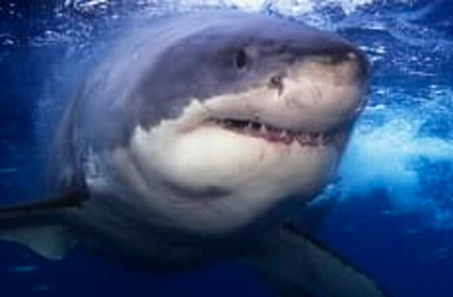 Diver's extremely close encounter with great white shark