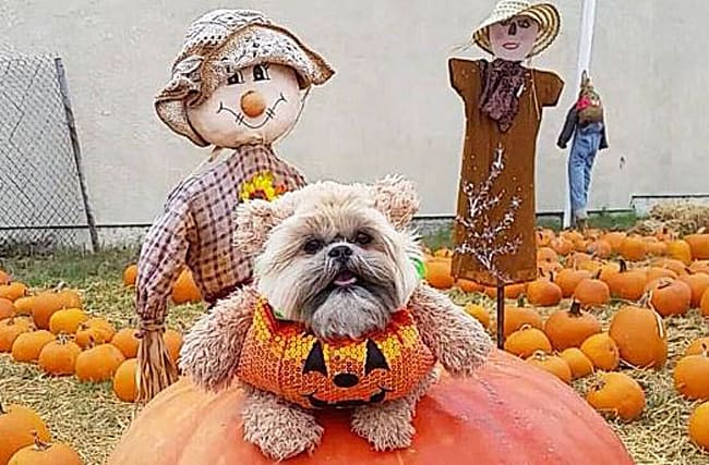 Munchkin the dog is the canine king of Halloween costumes