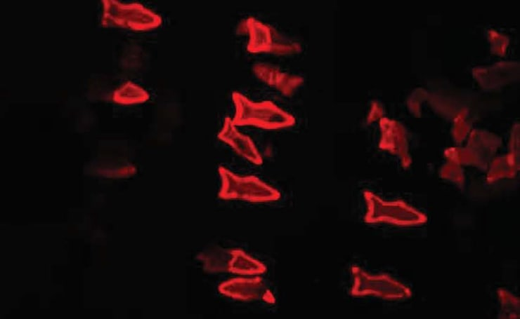 Microscopic 'fish' could clean toxins from your bloodstream