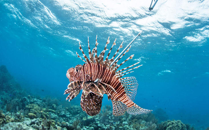 Researchers are building a robotic Lionfish exterminator