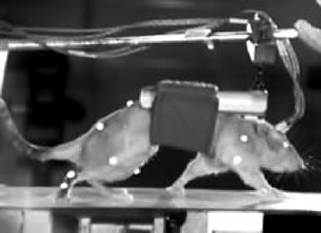 Electronic neural bridge helps paralyzed mice walk again, human application might prove tricky