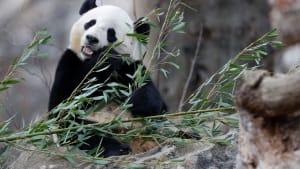 Bao Bao's Most Adorable Moments