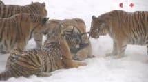 Tiger auf Drohnenjagd: Technik, die nicht schmeckt