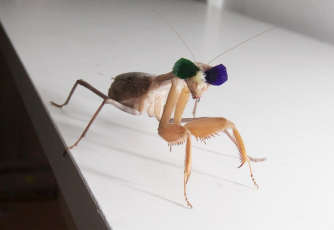 Mantises get tiny 3D glasses to test depth perception