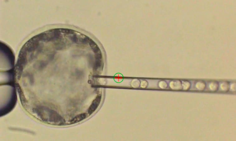 Researchers create first viable hybrid human-pig embryo