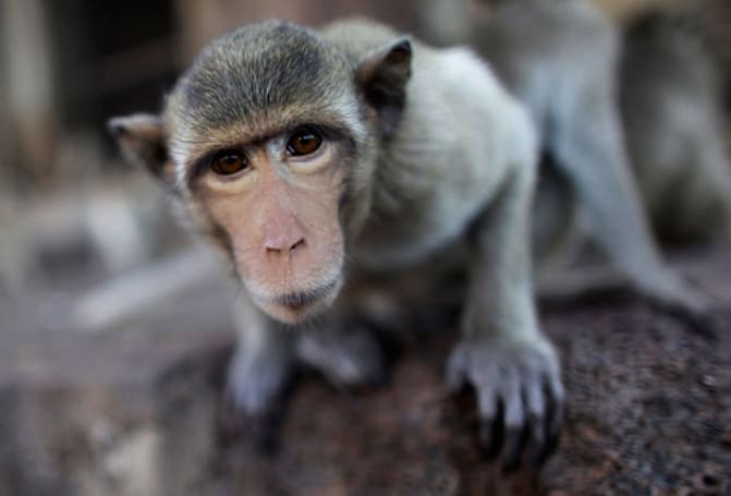 Monkeys may be the first primates to get successful head transplants