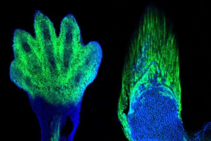 Gene editing helps spot evolutionary link between fins and hands