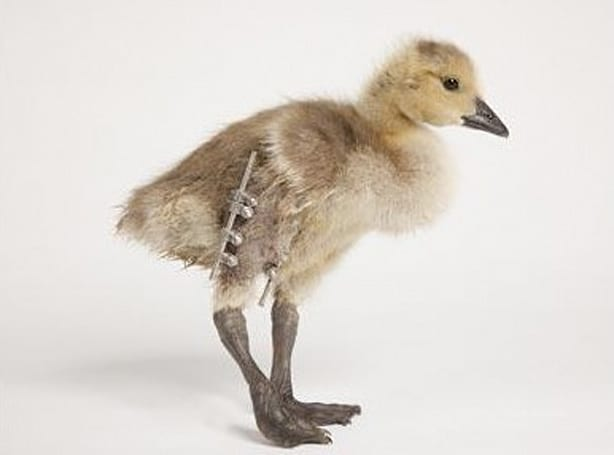 """Bionic"" goose happy to have new leg, disappointed by lack of retractable laser cannon"