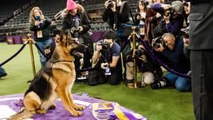 Meet the 2017 Westminster Dog Show Winner