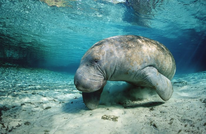 Google machine learning can protect endangered sea cows