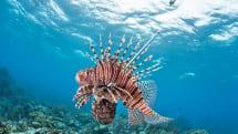 Researchers are building a robotic Lionfish exterminator