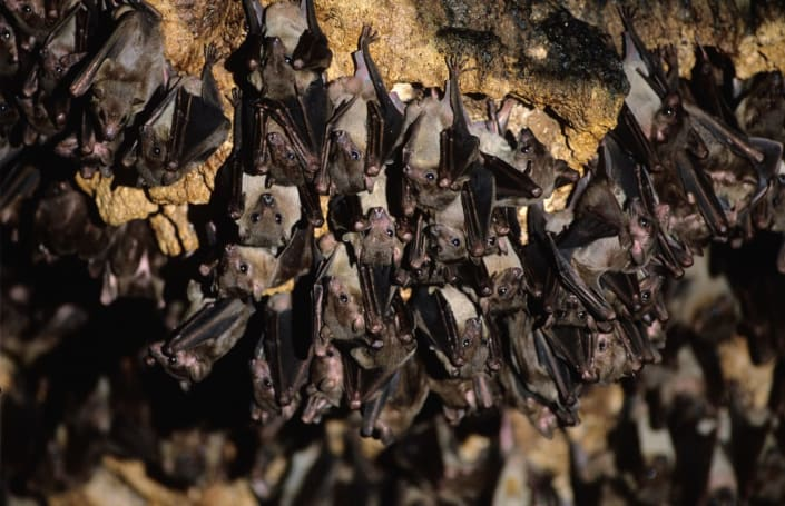 Machine learning is helping researchers decipher bat speech
