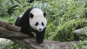 America Says Bye Bye to Bao Bao