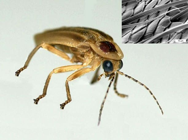 Fireflies' bumpy abdomens may lead to brighter LEDs
