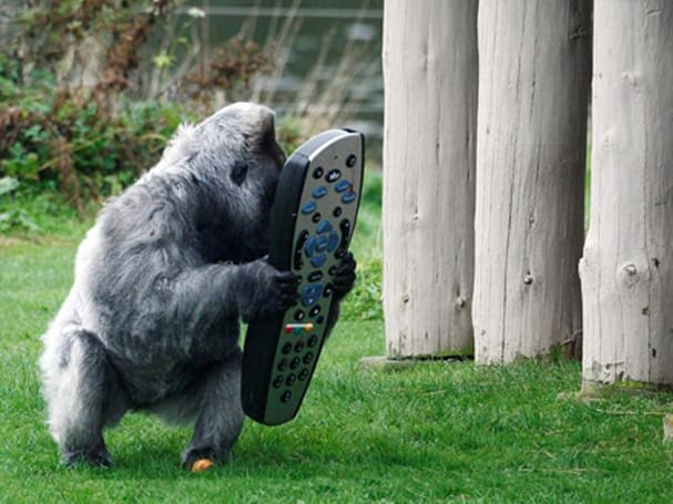 Gorilla gets Sky+ HD service in its enclosure, wouldn't return to the wild if he could
