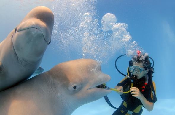 beluga-whale-photobombs-friend-cute-photos