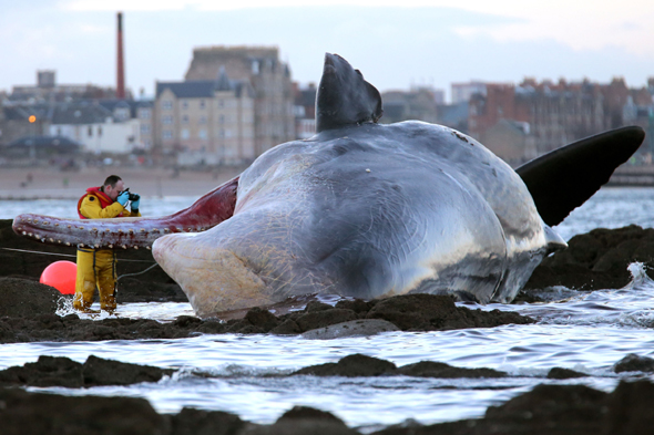 A marine rescue worker photographs a sperm whale that washed up on Portobello beach in Edinburgh.
