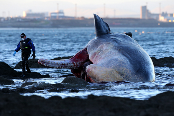 A marine rescue worker walks past a sperm whale that washed up on Portobello beach in Edinburgh.