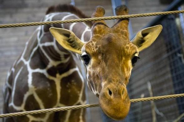 marius giraffe saved by president at danish zoo