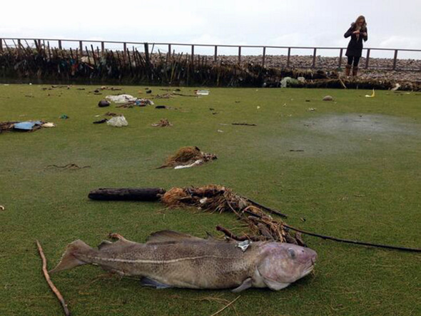 Pictured: A passerby takes a picture of the cod that was discovered on the third green. Re: A fully grown cod has been discovered at a golf course in south Wales. Peter Evans discovered the fish on the third green of the Royal Porthcawl Golf Club. The fish is believed to have been washed to the shore during the recent storms which has seen giant waves hitting the shores