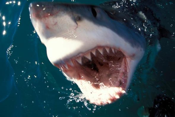 man-killed-great-white-shark-spearfishing-australia