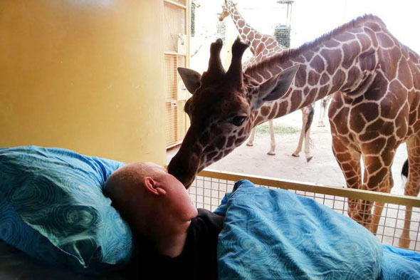 Giraffe kisses terminally ill zookeeper goodbye at Rotterdam Zoo