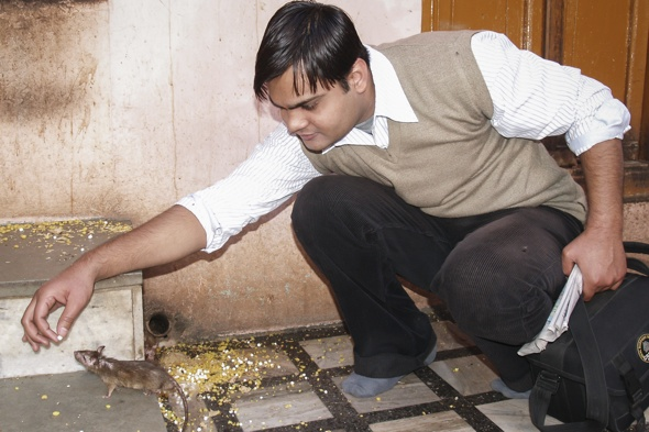 ***EXCLUSIVE***  RAJASTHAN, INDIA - UNDATED: A person feeds a rat by hand in the rat temple in Rajasthan, India.  THEY say you are never more than six foot from a rat in London, but one temple in India is crawling with 20,000 of them. The Karni Mata Temple in Rajasthan, India, is known for its devotion to the furry animals. Rats scurry throughout the temple, where they are worshipped, fed and protected. The worshipers believe the rats are an incarnation of Goddess Karni Mata.  PHOTOGRAPH BY Barcroft India  UK Office, London. T +44 845 370 2233 W www.barcroftmedia.com  USA Office, New York City. T +1 212 796 2458 W www.barcroftusa.com  Indian Office, Delhi. T +91 11 4053 2429 W www.barcroftindia.com