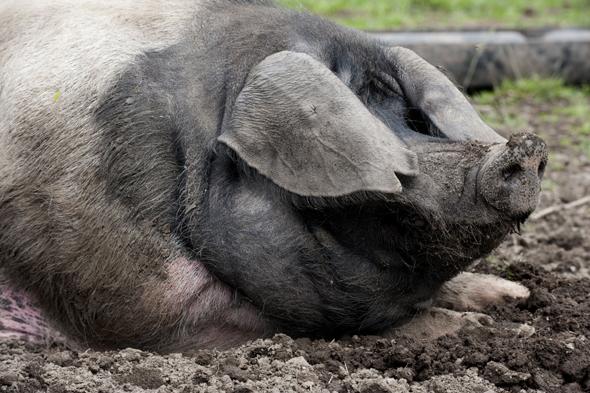Mandatory Credit: Photo by FLPA/REX (3272323a) Domestic Pig, British Saddleback, freerange boar, wallowing in mud, close-up of head, Cumbria, England, july Nature