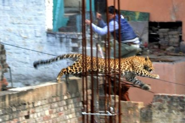 leopard-loose-injures-seven-india-meerut