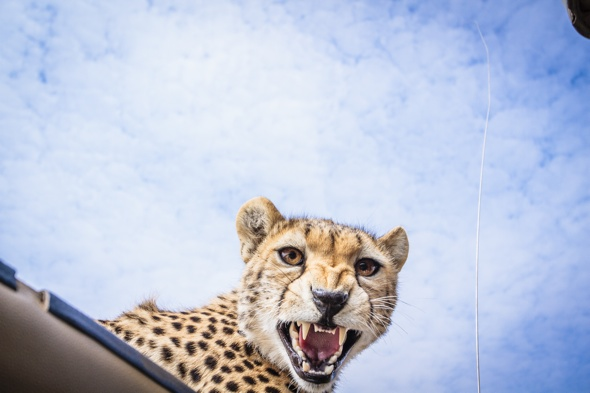 PIC BY BOBBY-JO CLOW PHOTOGRAPHY / CATERS NEWS - (PICTURED: The cheetah looks straight at the photographer whilst peering through the roof of the safari vehicle) - This is the heart-stopping moment a photographer came within inches of a young cheetah when it stuck its head through her sun roof. Australian Bobby-Jo Clow, 31, was on safari in Tanzania when the juvenile started heading towards her Landrover with his sibling. She snapped away as the young male dangled its paws in front of her face and smelt her hair before its mother called it away into the wilds of the Serengeti National Park. But not until Bobby-Jo, a full-time elephant keeper at a Tanzanian Zoo, had leaned forward enough to capture the perfect shot, causing the cheetah to hiss and bare its teeth. SEE CATERS COPY