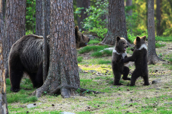 A family of baby brown bears appear to be dancing to Ring a Ring o' Roses as their mother relaxes behind a tree nearby.  At just a few months old, two young males and one female gather in a circle, clutch each others' hands and begin to dance to the popular nursery rhyme.  It's almost like a scene from a school playground as the bears joyfully play together, tapping their feet and moving around in a circle.  However, after a while, one baby bear is left standing alone appearing to do a victory jig while, in another photo, another baby bear is escaping up a tree.  PE teacher Valtteri Mulkahainen, 52, was lucky enough to witness the magical moment after travelling through eastern Finland when they came across the bears near Suomussalmi.  SEE OUR COPY FOR DETAILS.  Pictured:  Two of the bears left standing, dancing to Ring a Ring o' Roses.  Please byline: Valtteri Mulkahainen/Solent News  © Valtteri Mulkahainen/Solent News & Photo Agency UK +44 (0) 2380 458800