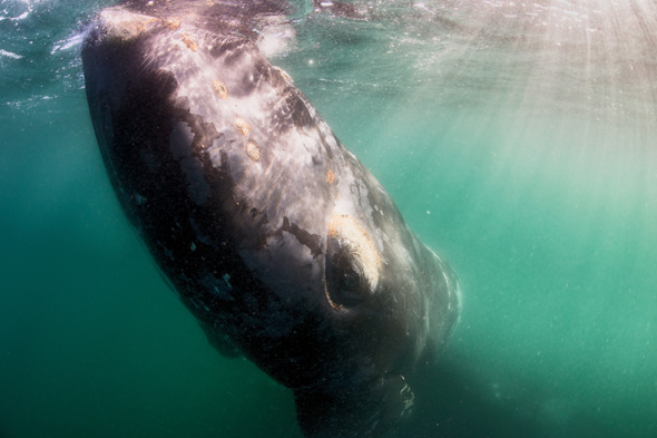 ***EXCLUSIVE***  PENINSULA VALDES, ARGENTINA - UNDATED: A close up of a southern right whale in Peninsula Valdes, Argentina.  A GROUP of whale watchers found themselves becoming the watched - when a huge whale emerged beneath their boat. These stunning images show a 50-tonne southern right whale and its calf inspecting a tour vessel. The images were captured in the warm waters off Peninsula Valdes, Argentina, where the massive mammals flock each year to raise their offspring.  PHOTOGRAPH BY Justin Hofman / Barcroft Media  UK Office, London. T +44 845 370 2233 W www.barcroftmedia.com  USA Office, New York City. T +1 212 796 2458 W www.barcroftusa.com  Indian Office, Delhi. T +91 11 4053 2429 W www.barcroftindia.com