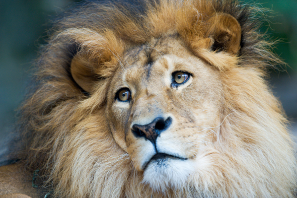johnny the lion killed by lionesses after being saved from romanian zoo