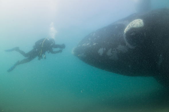 ***EXCLUSIVE***  PENINSULA VALDES, ARGENTINA - UNDATED: A diver comes face to face with a southern right whale mother in shallow waters in Peninsula Valdes, Argentina  A GROUP of whale watchers found themselves becoming the watched - when a huge whale emerged beneath their boat. These stunning images show a 50-tonne southern right whale and its calf inspecting a tour vessel. The images were captured in the warm waters off Peninsula Valdes, Argentina, where the massive mammals flock each year to raise their offspring.  PHOTOGRAPH BY Justin Hofman / Barcroft Media  UK Office, London. T +44 845 370 2233 W www.barcroftmedia.com  USA Office, New York City. T +1 212 796 2458 W www.barcroftusa.com  Indian Office, Delhi. T +91 11 4053 2429 W www.barcroftindia.com