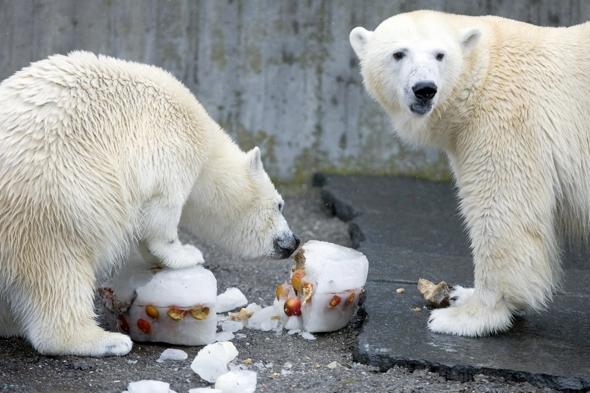 polar-bear-dies-eating-jacket-bag-zoo-germany