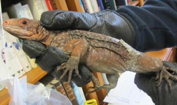 13-iguanas-stuffed-socks-seized-heathrow