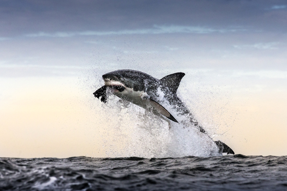 *** EXCLUSIVE ***  FALSE BAY, SOUTH AFRICA - UNDATED: A great white shark breaches and takes a decoy seal off in False Bay, South Africa.   A GREAT white shark launches itself clear out of the water to snatch a snack - a helpless seal. The dramatic shots of several sharks breaching at Seal Island, off the coast of Cape Town, South Africa, were captured by wildlife photographer Chris McLennan. Chris witnessed 28 predations in a single hour in the shark infested waters.  PHOTOGRAPH BY Chris McLennan / Barcroft Media  UK Office, London. T +44 845 370 2233 W www.barcroftmedia.com  USA Office, New York City. T +1 212 796 2458 W www.barcroftusa.com  Indian Office, Delhi. T +91 11 4053 2429 W www.barcroftindia.com