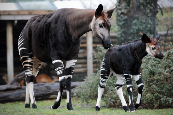 Okapi offspring 'Bashira' (R) and his mother 'Batouri' stroll through their enclosure in the zoo in Berlin, Germany, 12 April 2013. Bashira was born on 26 February 2013. Photo: Jan-Philipp Strobel