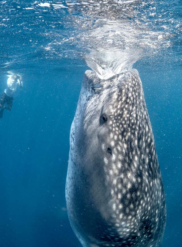 whale-shark-almost-swallows-diver-mexico