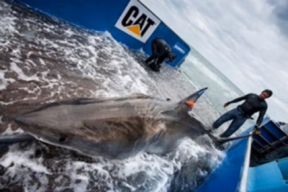 tagged-great-white-shark-lydia-heading-uk-pregnant