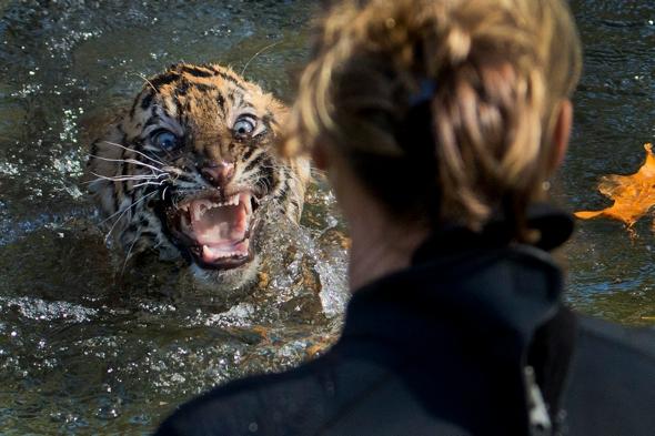 Tiger cubs swim test Washington Zoo