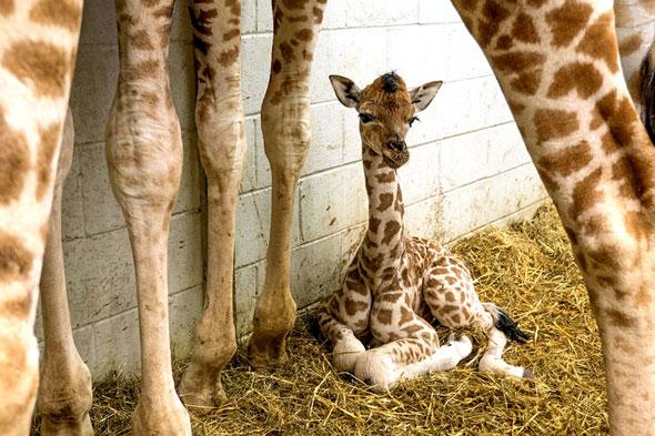 Endangered giraffe born at Paignton Zoo