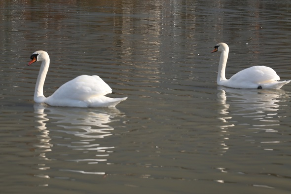 man-beheading-swans-kent-police-search