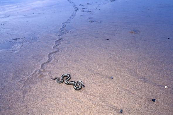snake-adder-pictured-cornwall-beach