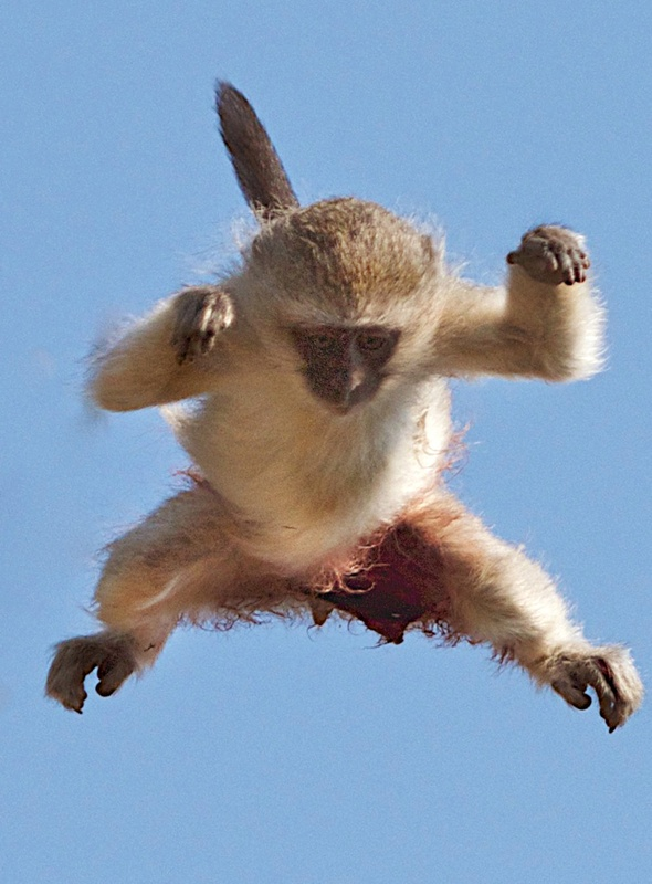 leopard-chases-baby-monkey-escapes-pictures